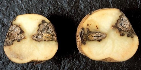 сухая гниль картофеля фото
