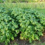 ботва картошки