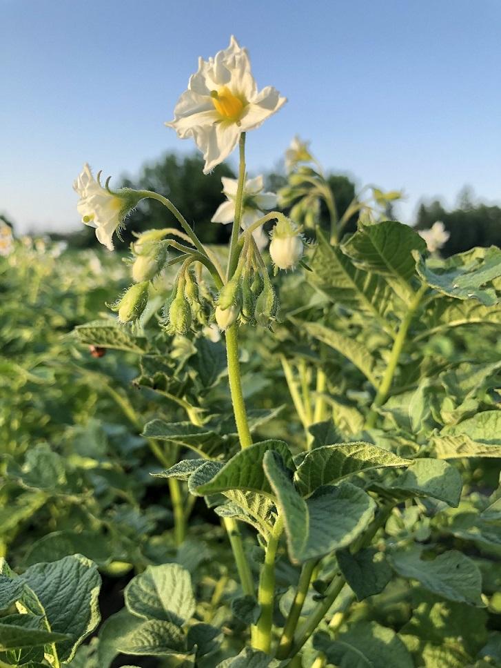 фото цветения картофеля