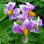 цветки картофеля от болезней