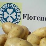 картошка Флоренция фото