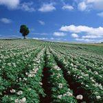 почему картошка не цветет, а урожай дает