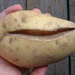 лопнывший картофель с трещинами фото