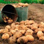 фото хорошего урожая картофеля