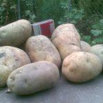 фото картошки киранда