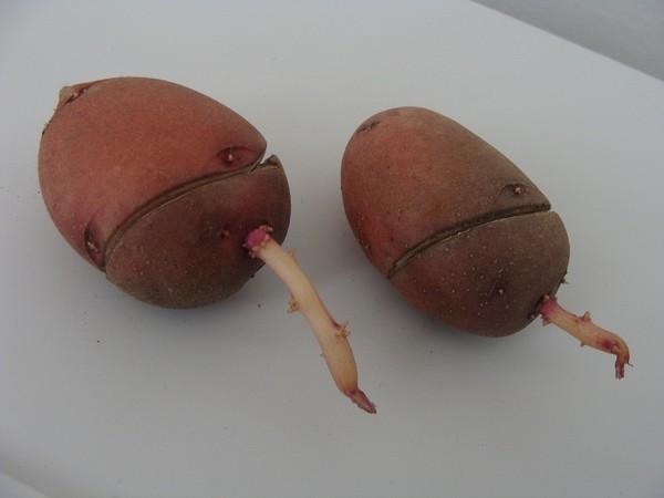 фото поперечного надреза картофельного клубн