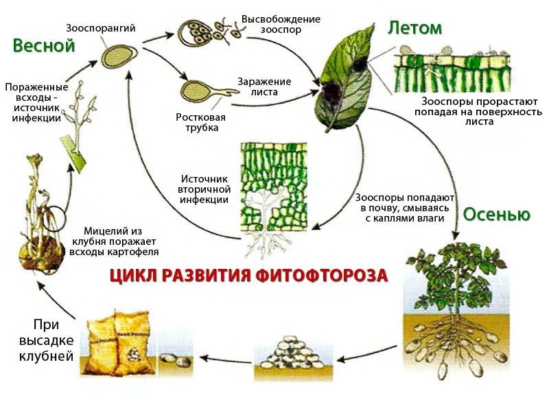 фото цикла развития фитофтороза