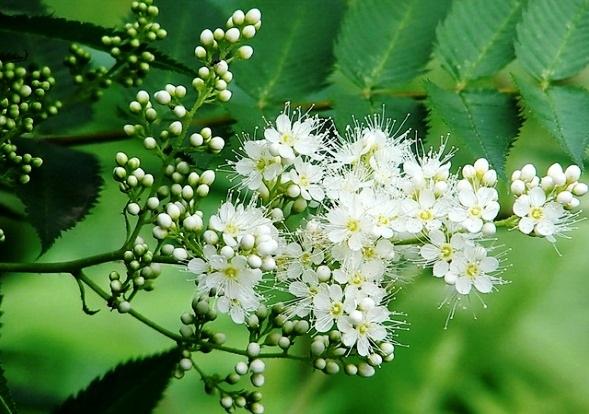 фото цветения черемухи