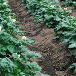 фото выращивания картошки по Миттлайдеру