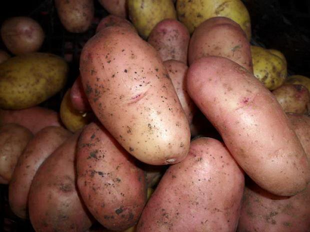 картошка отрада фото