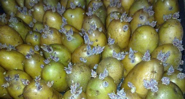 фото обработанных от фитофторы клубней картофеля перед посадкой