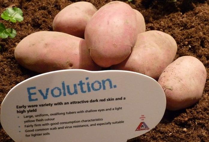 сорт картофеля эволюшн фото