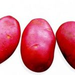 сорт картофеля отрада фото