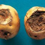 фото фомоза картошки