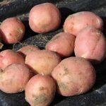 картошка малиновка фото