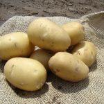 картошка наяда фото