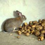 картошка в рационе кроликов - кормление
