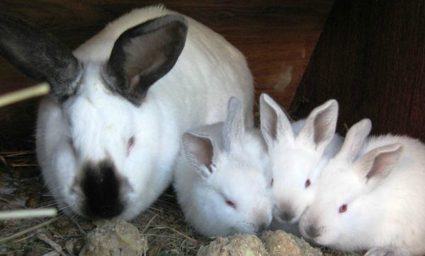 фото кормления кроликов картошкой