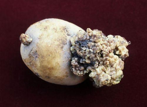 фото пораженного раком картофеля клубня