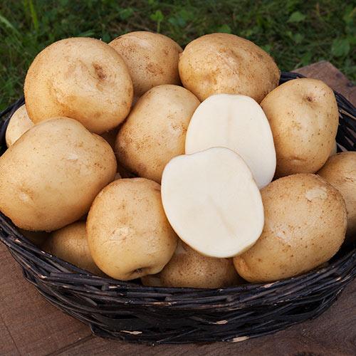 сорт картофеля белоснежка фото