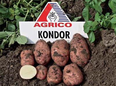 фото сорта картофеля Кондор