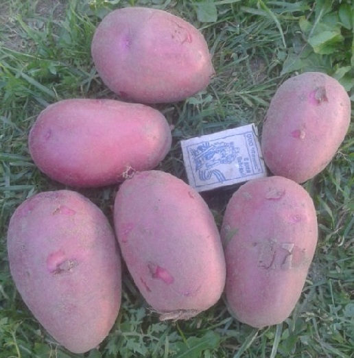 фото сорта картофеля Маргарита