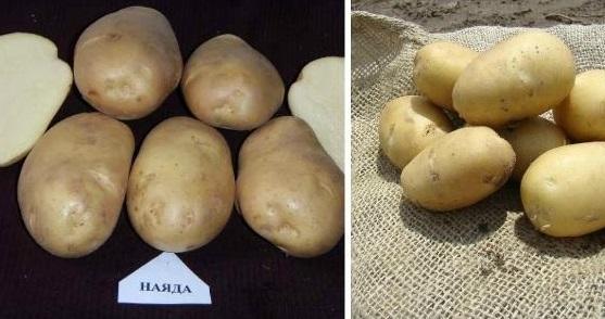 сорт картофеля наяда фото