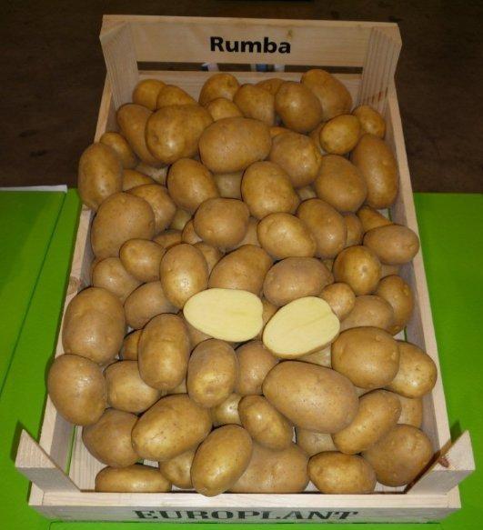 сорт картофеля рубма фото
