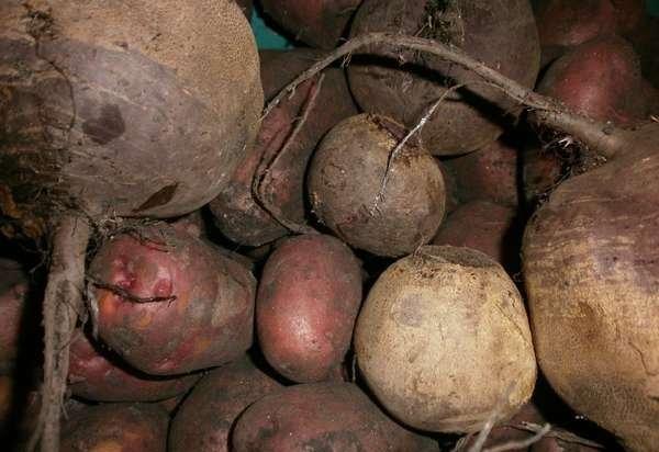 Хранение картофеля в погребе