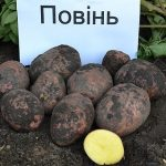 картошка повинь фото
