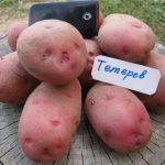 картошка тетерев фото