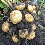 можно ли копать картошку в дождь