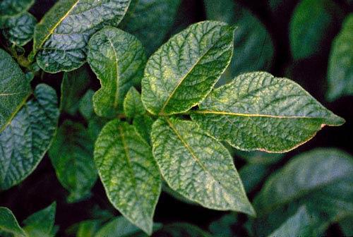 morschinistaya-potatoyvirus