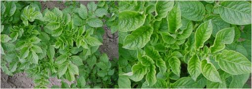 Мозаичное скручивание листьев картофеля фото