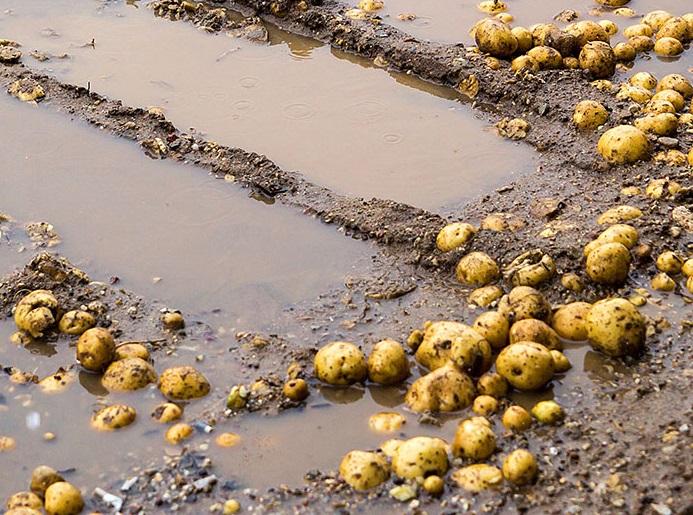 фото картофеля, залитого дождями