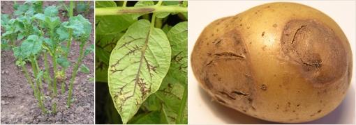 Полосчатая мозаика картофеля фото