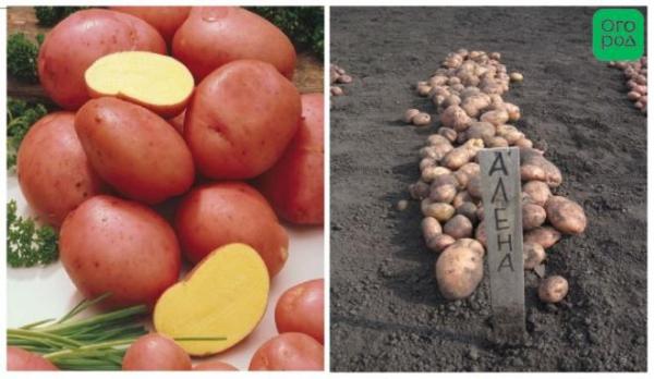 сорт картофеля Алена фото