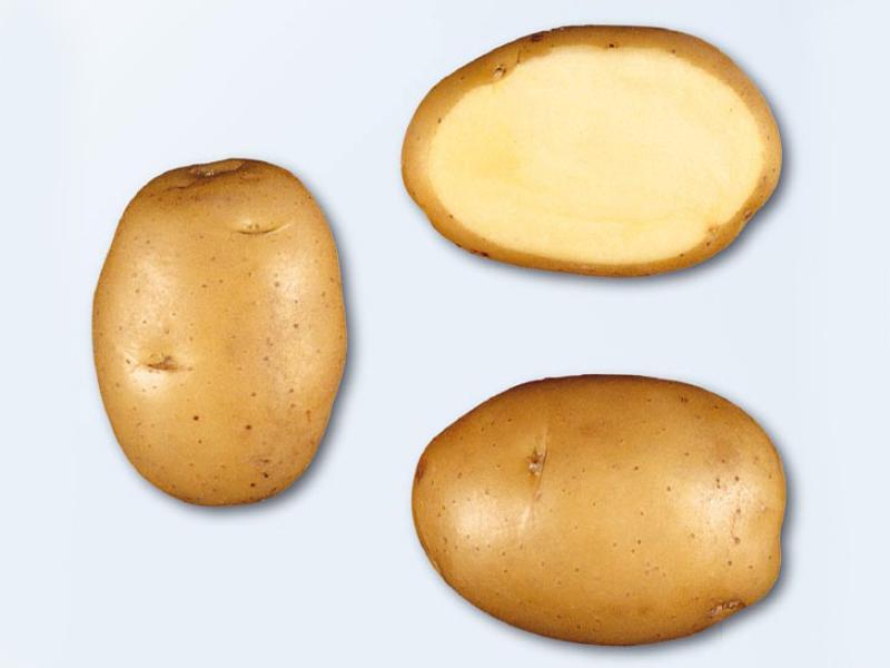 сорт картофеля минерва фото