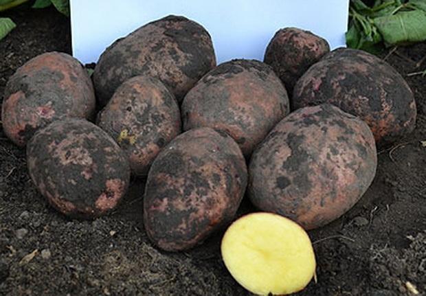 сорт картофеля повинь фото