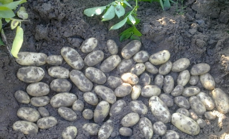 сорт картофеля сатина фото