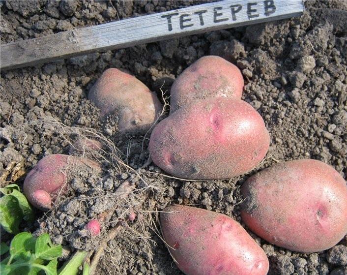 сорт картофеля тетерев фото