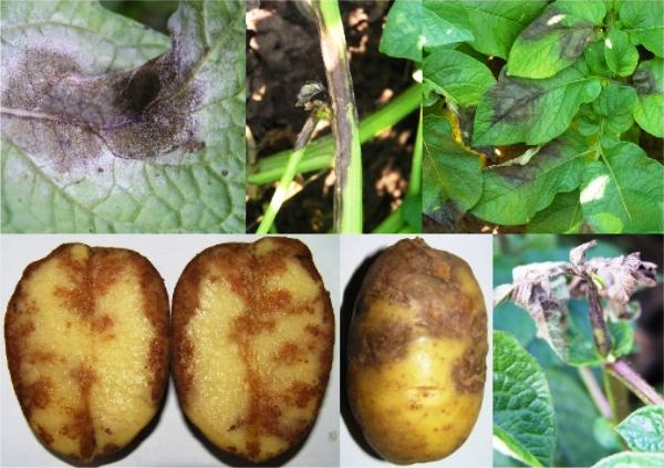 фото фитофтороза картофеля на кусте