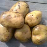 картошка нора фото