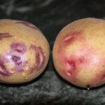картошка повелитель просторов фото