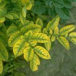фото пожелтевших листьев картофеля