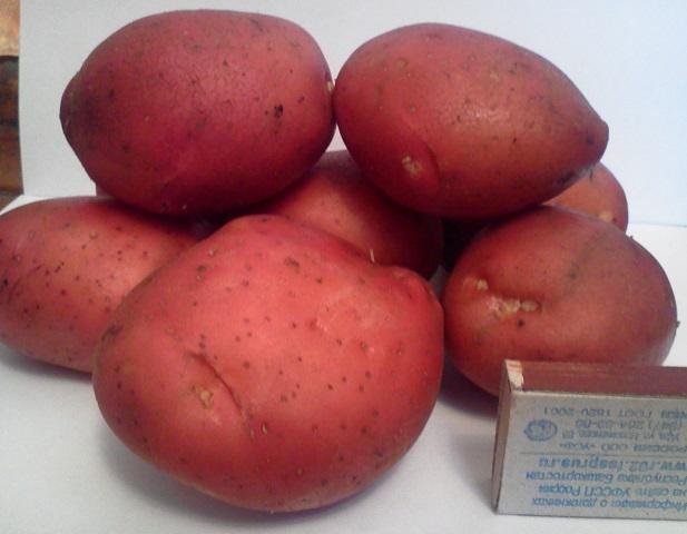 фото сорта картофеля Башкирский