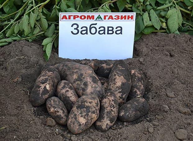 сорт картофеля забава фото