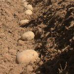 схемы посадки картошки фото