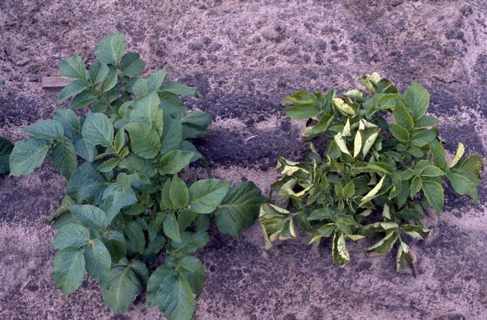 фото вируса скручивания листьев картофеля