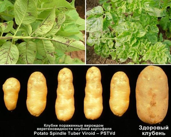 фото вирусных заболеваний картофеля